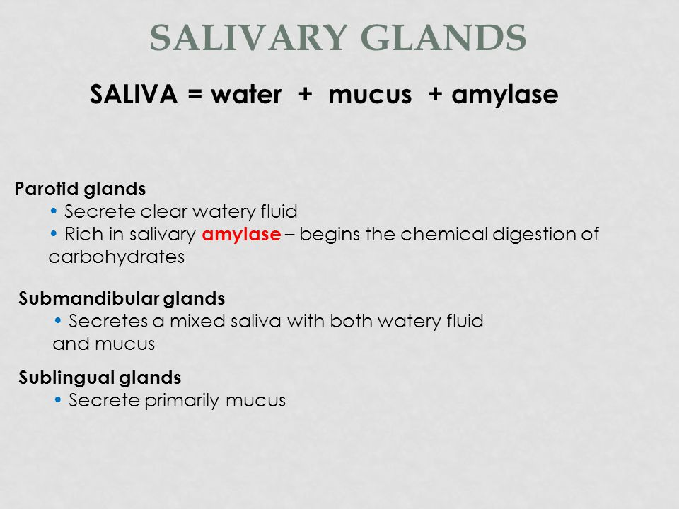 Secrete saliva Saliva moistens the food, and begins the digestion of carbohydrates SALIVARY GLANDS Three pairs of major salivary glands, include: Parotid glands Submandibular Sublingual