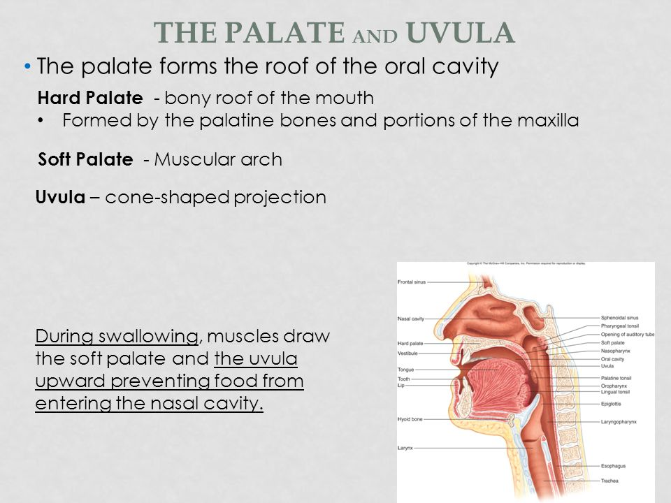 SALIVA = water + mucus + amylase Parotid glands Secrete clear watery fluid Rich in salivary amylase – begins the chemical digestion of carbohydrates Submandibular glands Secretes a mixed saliva with both watery fluid and mucus Sublingual glands Secrete primarily mucus SALIVARY GLANDS