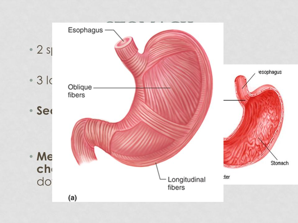 ESOPHAGUS Peristalsis involuntary muscle contractions to move food along Esophageal Hiatus – opening in the diaphragm, passage for esophagus Hiatal hernia – part of the stomach protrudes through the hiatus.
