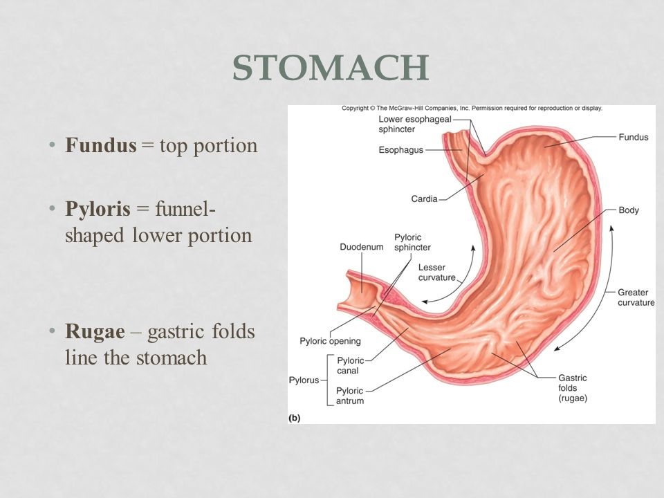 STOMACH 2 sphincters (valves) 3 layers of muscle Secretes gastric juices (enzymes + HCl) Mechanically and chemically breaks down food