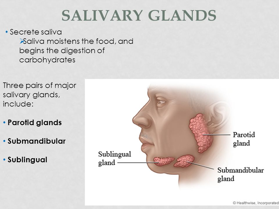 THE MOUTH (ORAL CAVITY) The mouth: Receives food Mechanically breaks up solid particles using TEETH & TONGUE Chemically digest food using saliva.