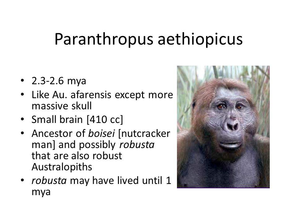 Paranthropus aethiopicus 2.3-2.6 mya Like Au.