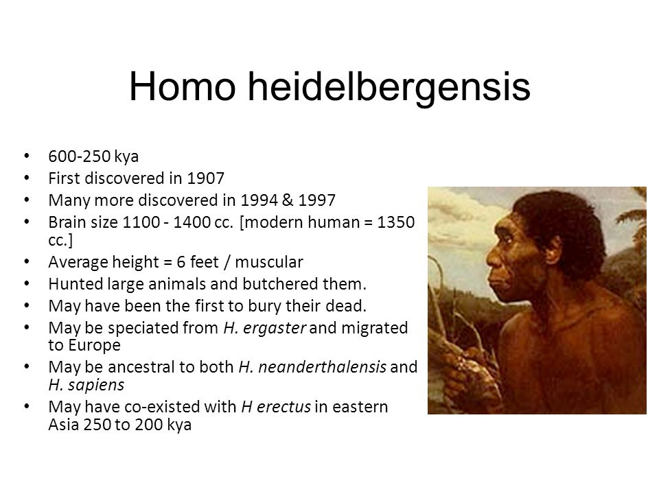 Homo heidelbergensis 600-250 kya First discovered in 1907 Many more discovered in 1994 & 1997 Brain size 1100 - 1400 cc.
