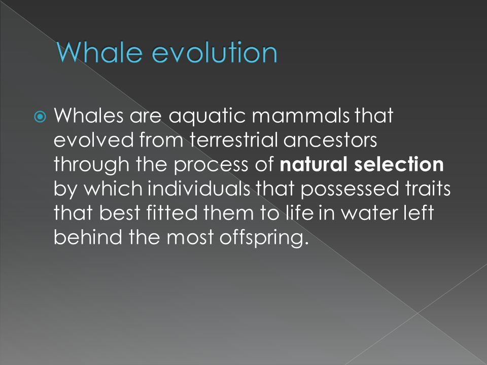 Whales are aquatic mammals that evolved from terrestrial ancestors through the process of natural selection by which individuals that possessed traits
