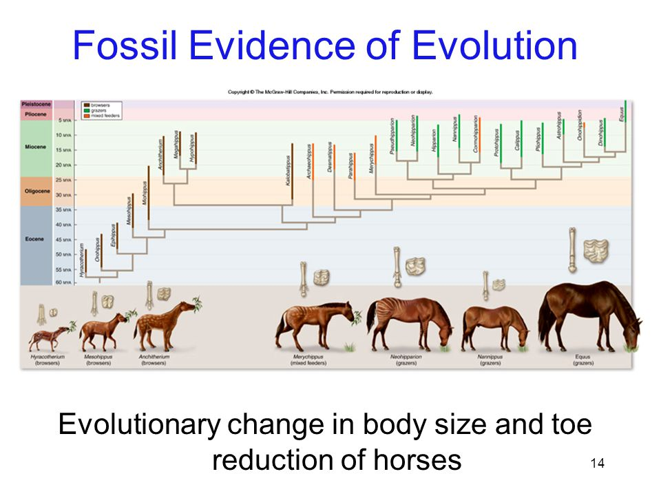 14 Evolutionary change in body size and toe reduction of horses Fossil Evidence of Evolution