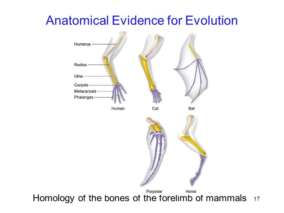 17 Homology of the bones of the forelimb of mammals Anatomical Evidence for Evolution
