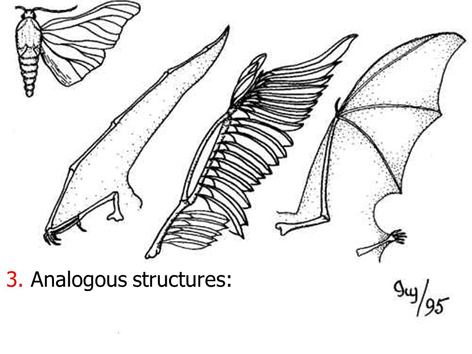 ANALAGOUS FEATURE Serve identical functions and look similar No anatomical/embryological similarity Wing developed independently and differently in mo