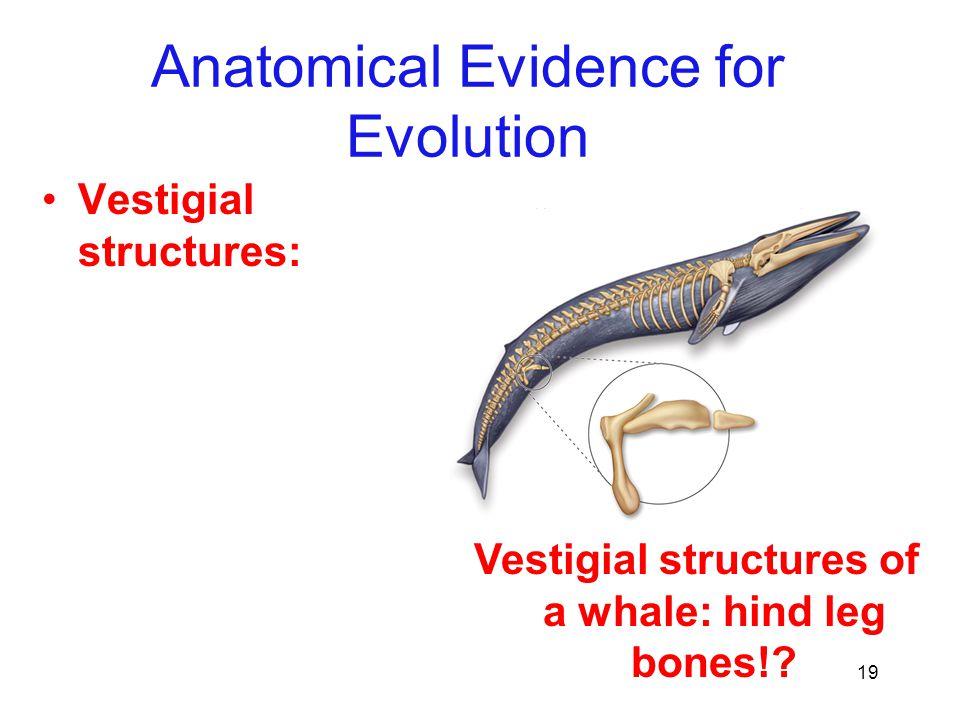 19 Vestigial structures: Anatomical Evidence for Evolution Vestigial structures of a whale: hind leg bones!?