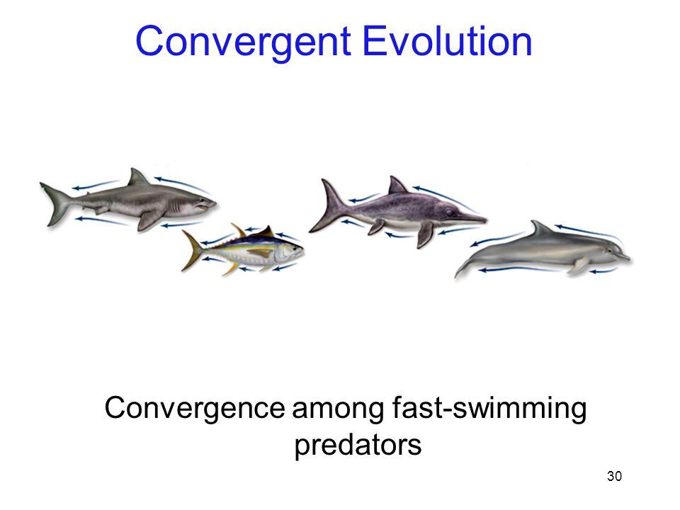 30 Convergence among fast-swimming predators Convergent Evolution