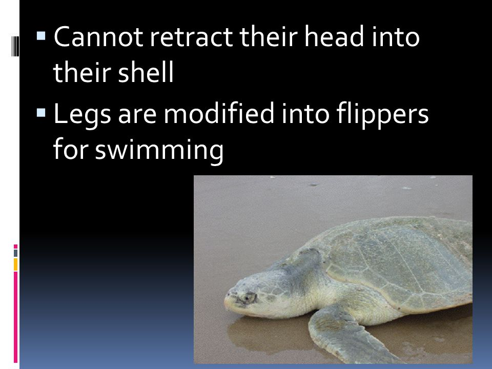 Cannot retract their head into their shell Legs are modified into flippers for swimming