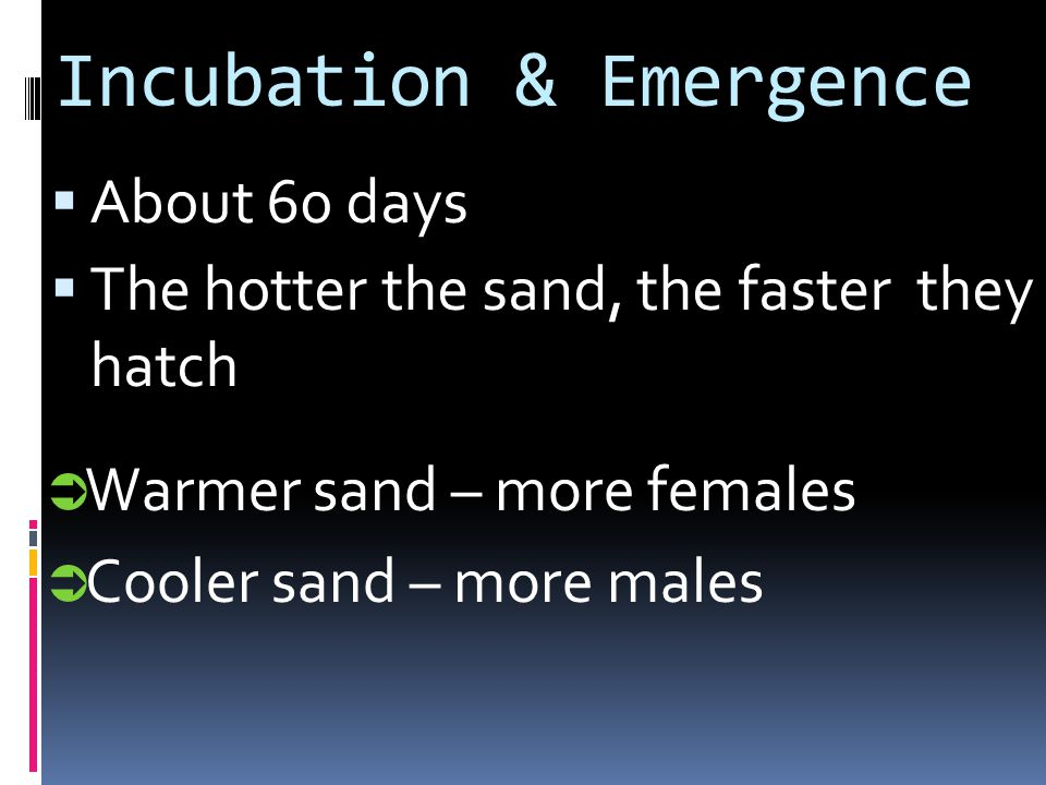 Incubation & Emergence About 60 days The hotter the sand, the faster they hatch Warmer sand – more females Cooler sand – more males
