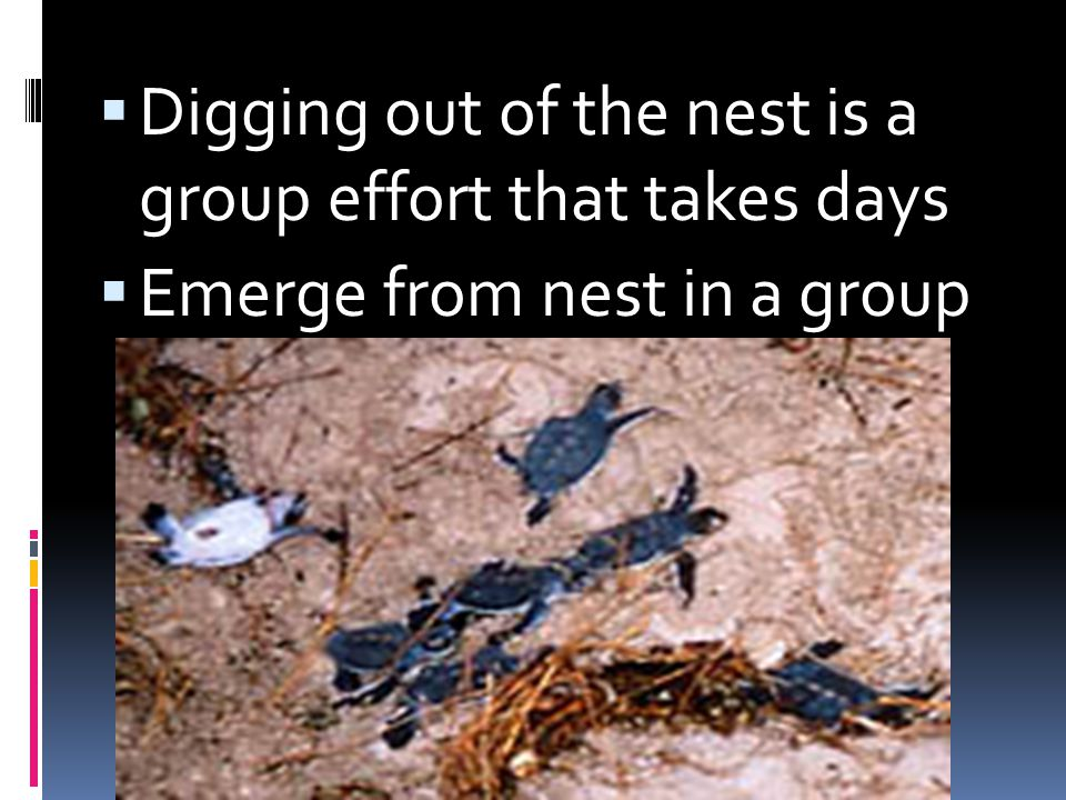 Digging out of the nest is a group effort that takes days Emerge from nest in a group