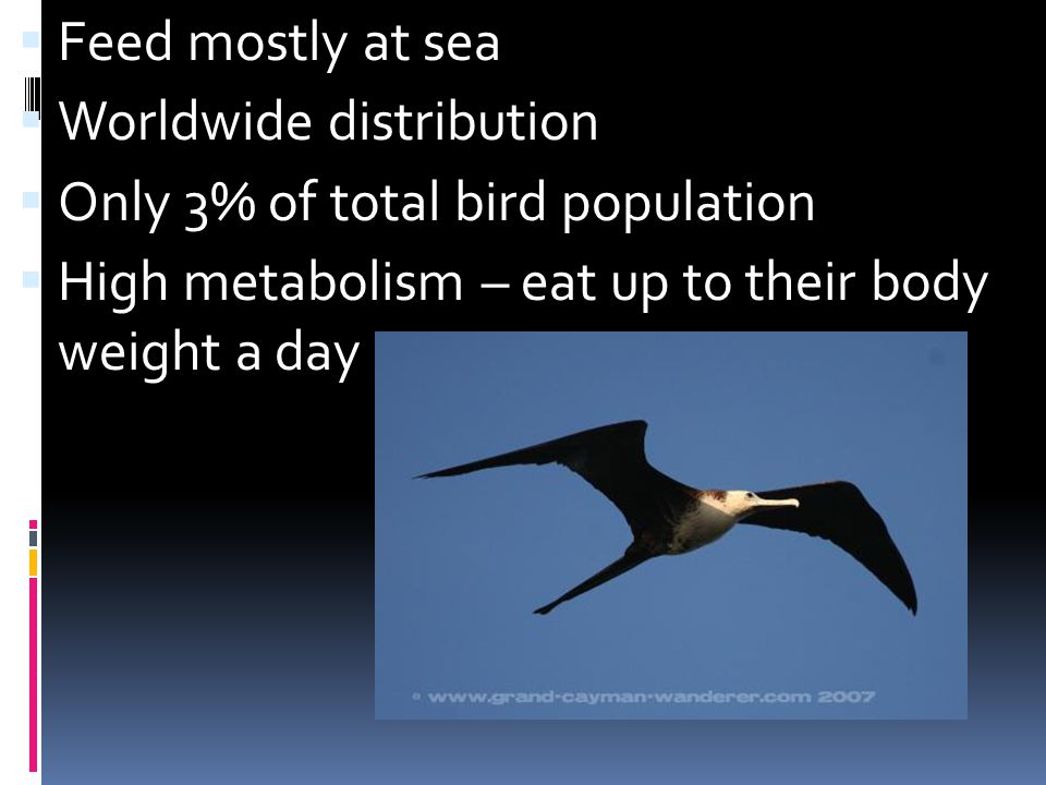 Feed mostly at sea Worldwide distribution Only 3% of total bird population High metabolism – eat up to their body weight a day