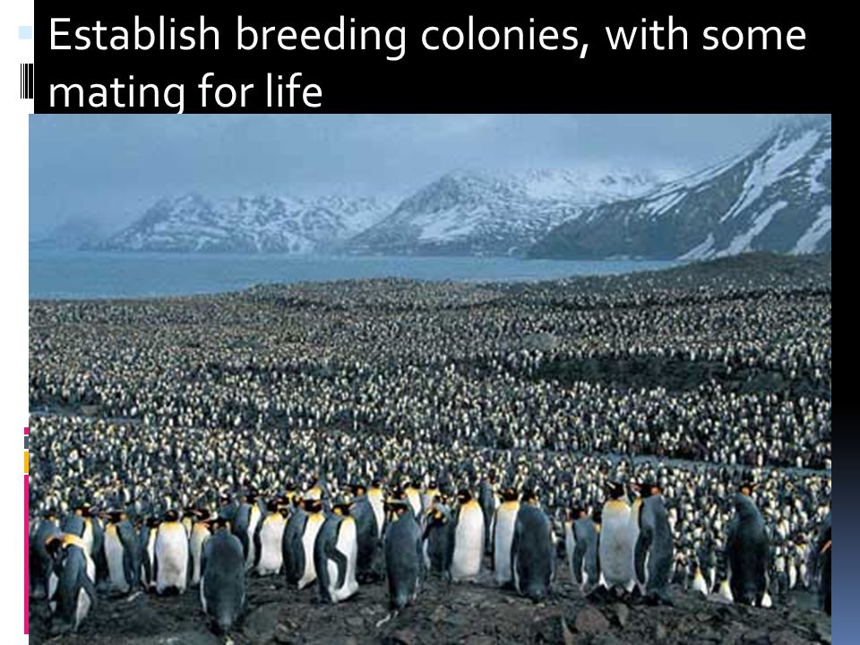 Establish breeding colonies, with some mating for life