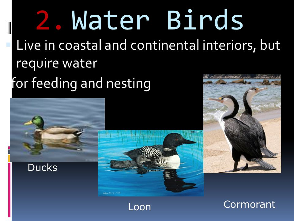 2.Water Birds Live in coastal and continental interiors, but require water for feeding and nesting Ducks Loon Cormorant