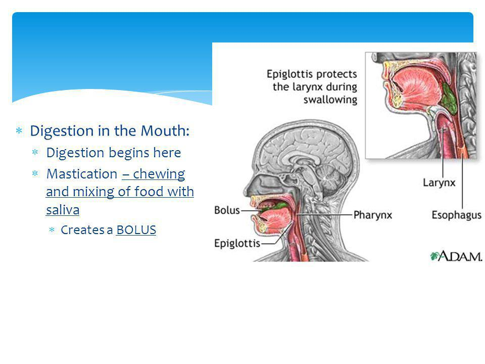 Digestion in the Mouth: Digestion begins here Mastication – chewing and mixing of food with saliva Creates a BOLUS
