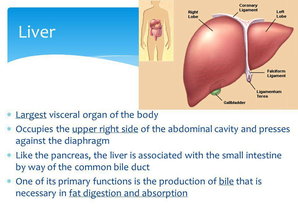 Largest visceral organ of the body Occupies the upper right side of the abdominal cavity and presses against the diaphragm Like the pancreas, the live