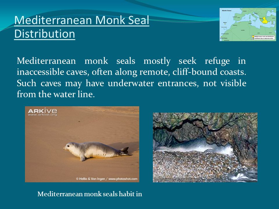 Mediterranean Monk Seal Distribution Mediterranean monk seals mostly seek refuge in inaccessible caves, often along remote, cliff-bound coasts.