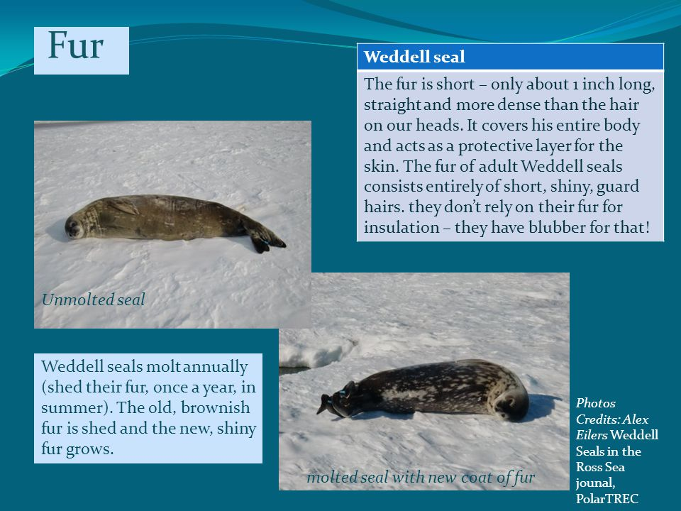 Weddell seal The fur is short – only about 1 inch long, straight and more dense than the hair on our heads.