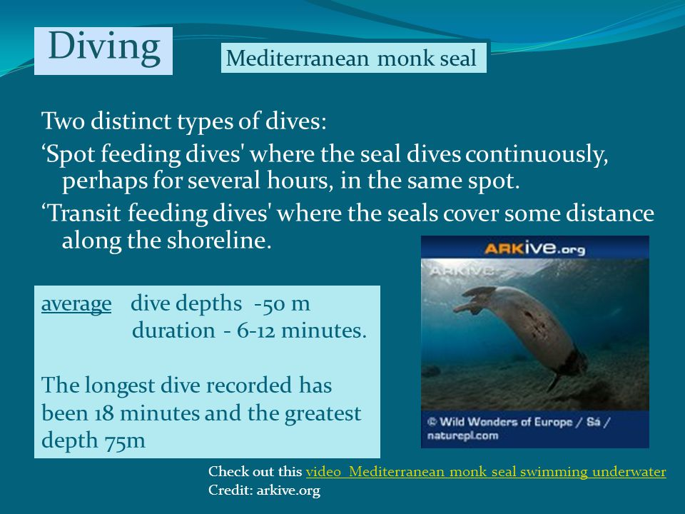 Two distinct types of dives: Spot feeding dives where the seal dives continuously, perhaps for several hours, in the same spot.
