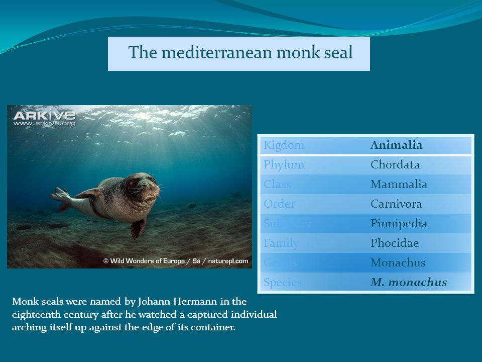 Monk seals were named by Johann Hermann in the eighteenth century after he watched a captured individual arching itself up against the edge of its container.