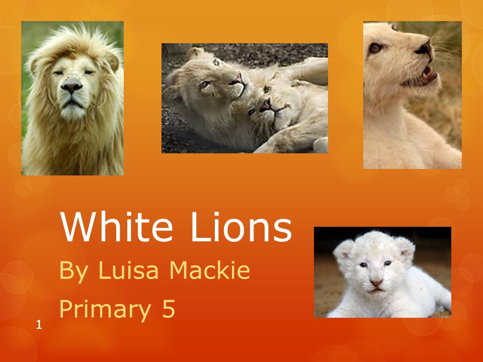 White Lions By Luisa Mackie Primary 5 1