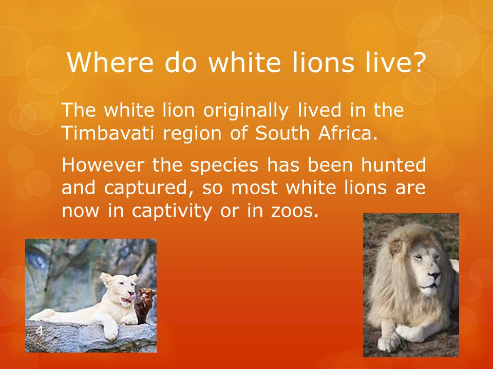 Where do white lions live? The white lion originally lived in the Timbavati region of South Africa. However the species has been hunted and captured,