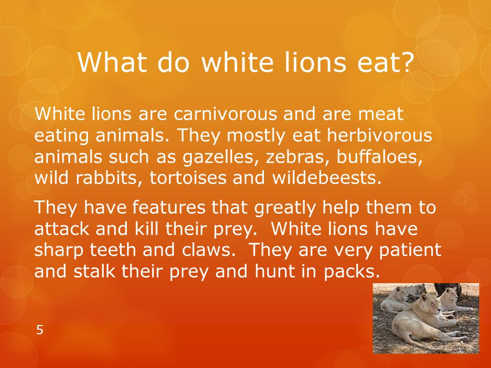What do white lions eat? White lions are carnivorous and are meat eating animals. They mostly eat herbivorous animals such as gazelles, zebras, buffal