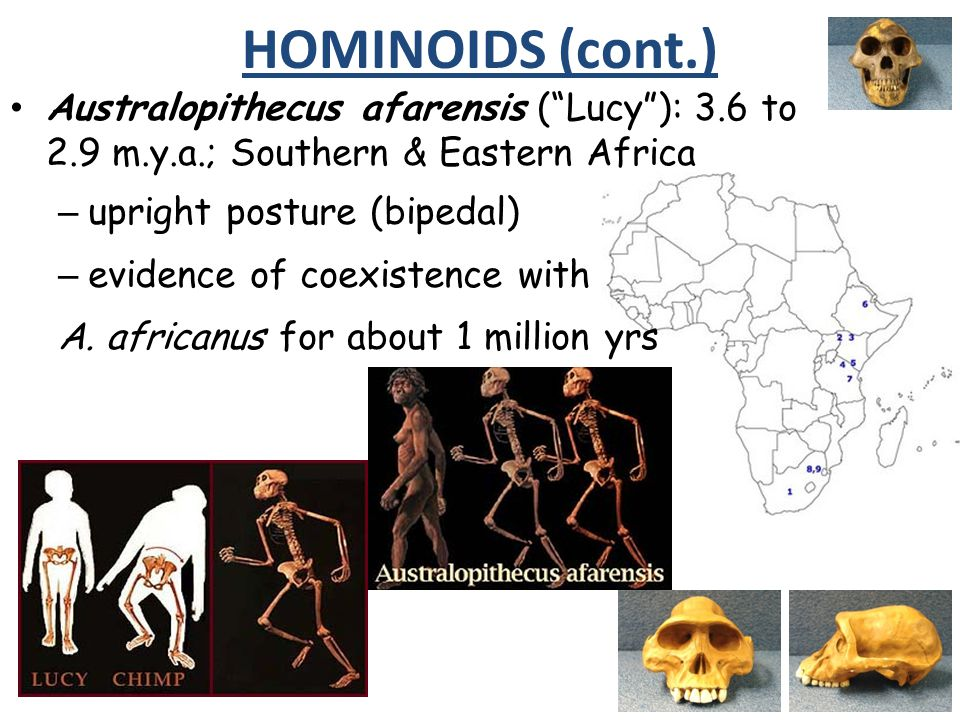 Australopithecus afarensis (Lucy): 3.6 to 2.9 m.y.a.; Southern & Eastern Africa – upright posture (bipedal) – evidence of coexistence with A. africanu