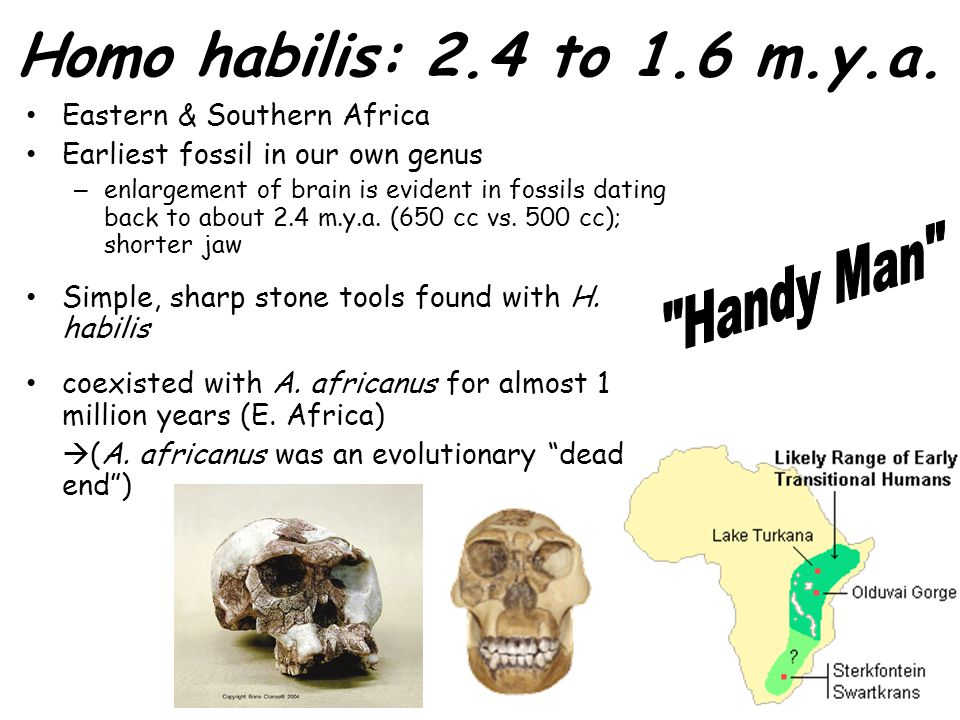 Homo habilis: 2.4 to 1.6 m.y.a. Eastern & Southern Africa Earliest fossil in our own genus – enlargement of brain is evident in fossils dating back to