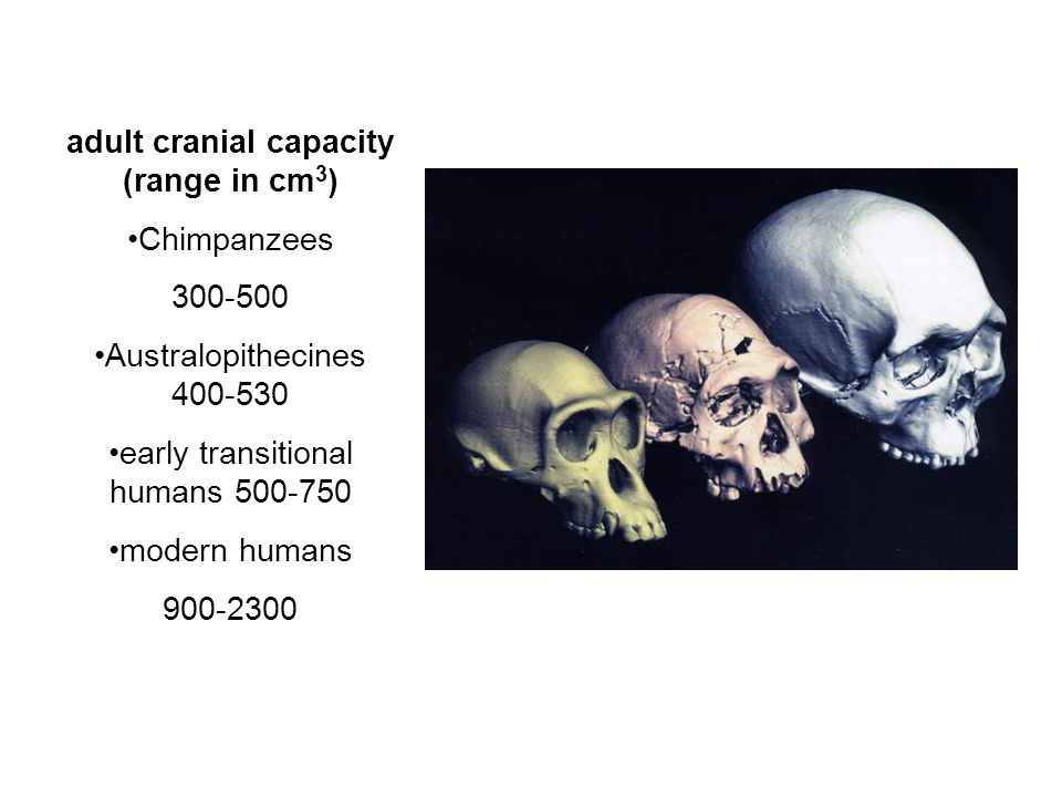 adult cranial capacity (range in cm 3 ) Chimpanzees 300-500 Australopithecines 400-530 early transitional humans 500-750 modern humans 900-2300