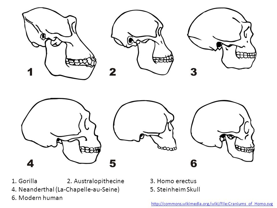 1. Gorilla 2. Australopithecine 3. Homo erectus 4. Neanderthal (La-Chapelle-au-Seine) 5. Steinheim Skull 6. Modern human http://commons.wikimedia.org/