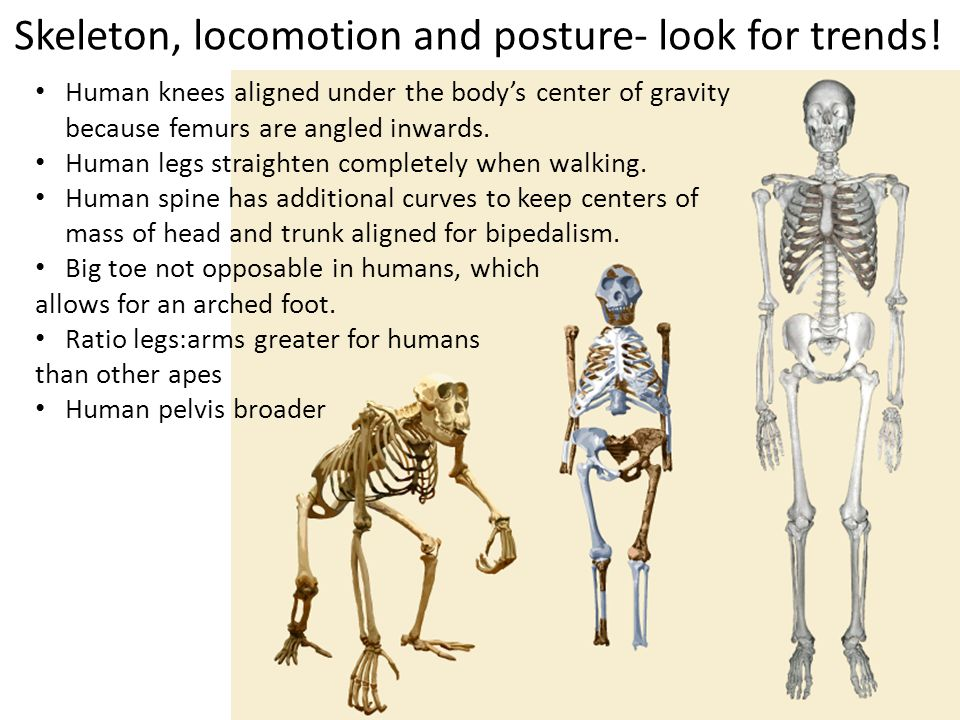 Skeleton, locomotion and posture- look for trends! Human knees aligned under the bodys center of gravity because femurs are angled inwards. Human legs