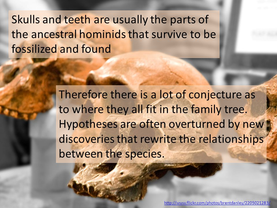 Skulls and teeth are usually the parts of the ancestral hominids that survive to be fossilized and found Therefore there is a lot of conjecture as to