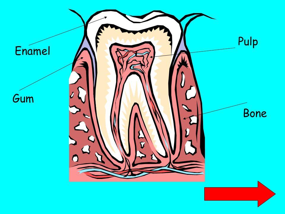 Enamel Pulp Gum Bone