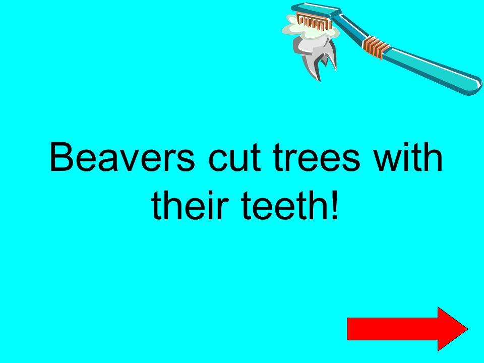 Beavers cut trees with their teeth!