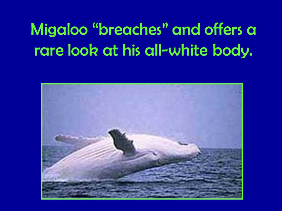 Migaloo breaches and offers a rare look at his all-white body.