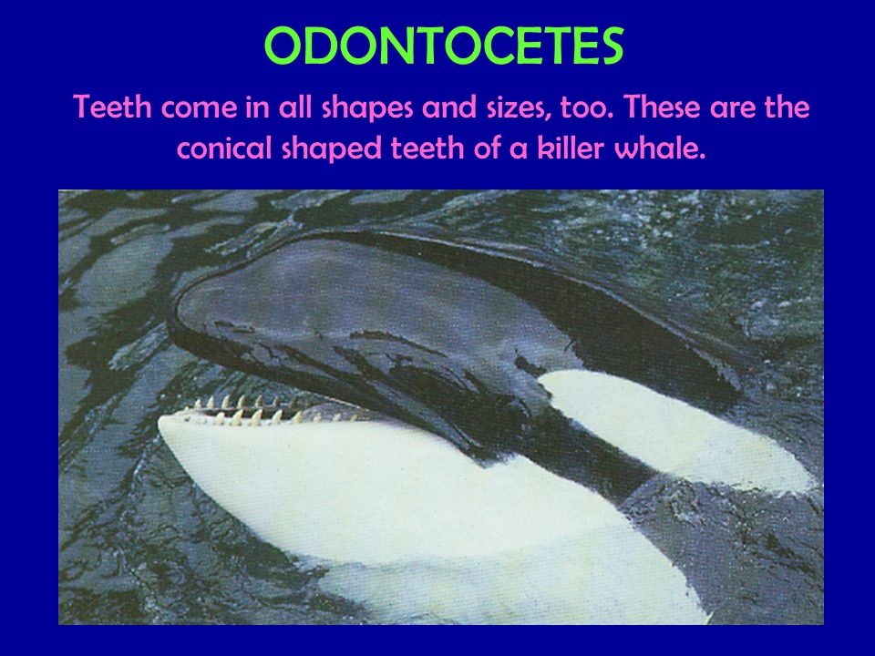 ODONTOCETES Teeth come in all shapes and sizes, too.