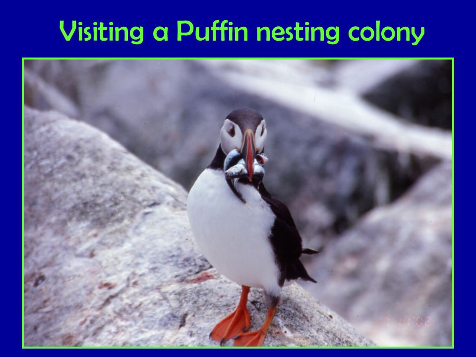 Visiting a Puffin nesting colony