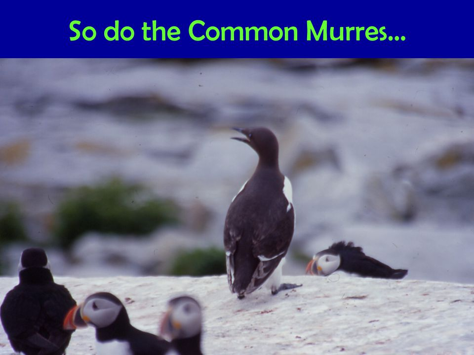 So do the Common Murres…