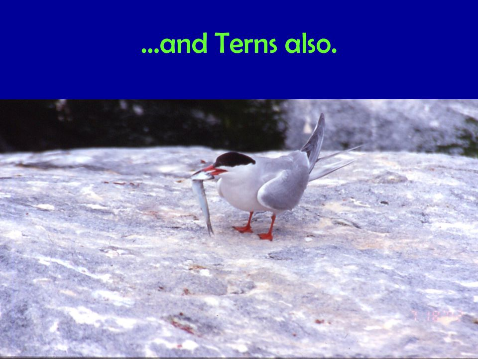 …and Terns also.