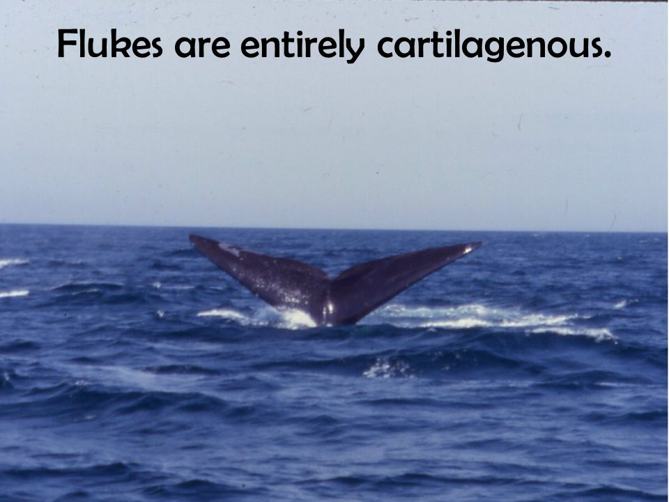 Flukes are entirely cartilagenous.