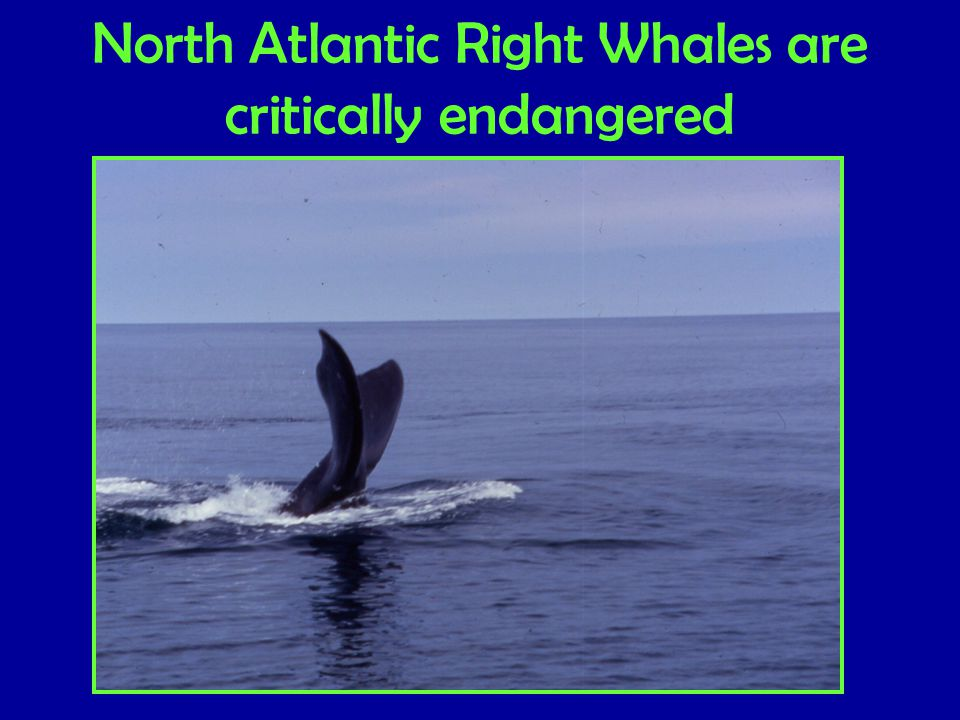 North Atlantic Right Whales are critically endangered