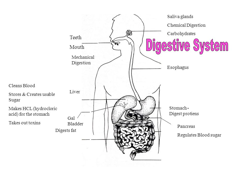 Teeth Mouth Mechanical Digestion Saliva glands Chemical Digestion Carbohydrates Esophagus Liver Cleans Blood Stores & Creates usable Sugar Makes HCL (hydrocloric acid) for the stomach Takes out toxins Gal Bladder Digests fat Stomach - Digest protiens Pancreas Regulates Blood sugar
