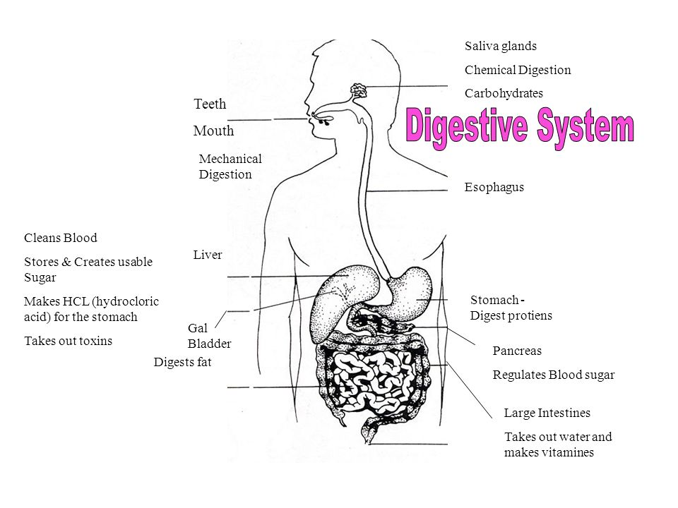 Teeth Mouth Mechanical Digestion Saliva glands Chemical Digestion Carbohydrates Esophagus Liver Cleans Blood Stores & Creates usable Sugar Makes HCL (