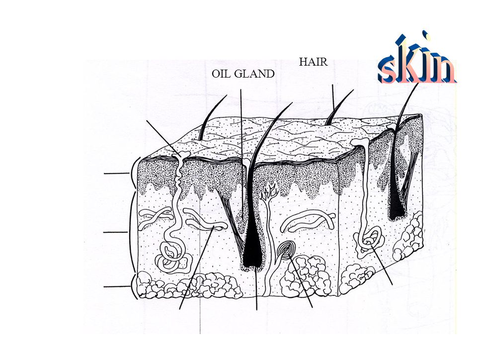 HAIR OIL GLAND