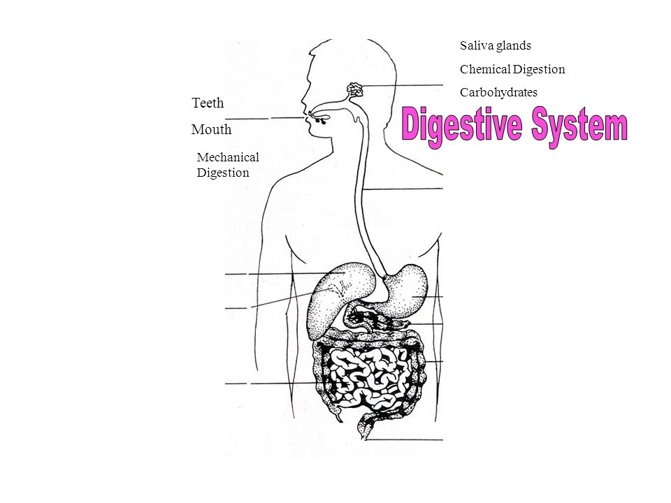 Teeth Mouth Mechanical Digestion Saliva glands Chemical Digestion Carbohydrates