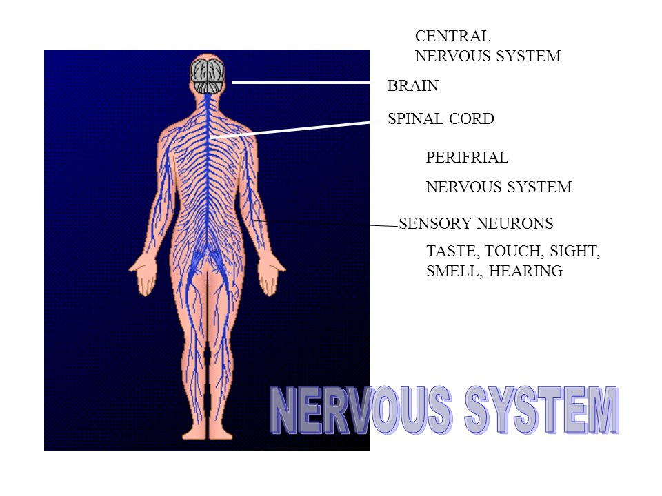 CENTRAL NERVOUS SYSTEM BRAIN SPINAL CORD PERIFRIAL NERVOUS SYSTEM SENSORY NEURONS TASTE, TOUCH, SIGHT, SMELL, HEARING