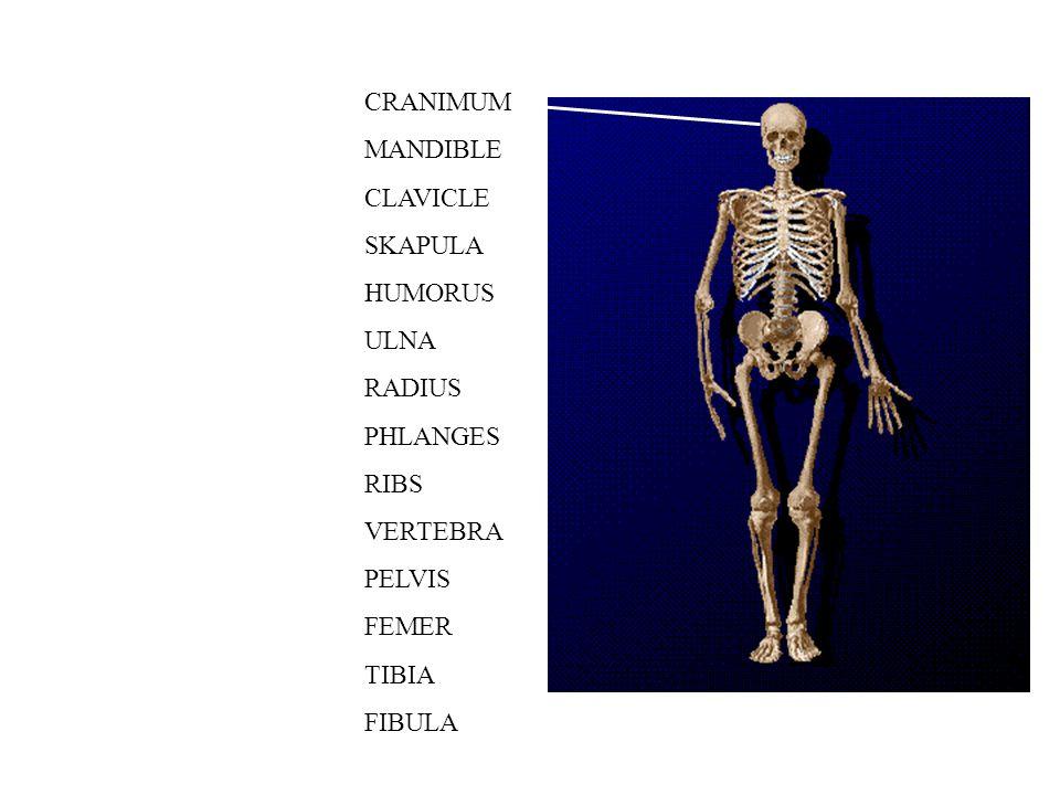 CRANIMUM MANDIBLE CLAVICLE SKAPULA HUMORUS ULNA RADIUS PHLANGES RIBS VERTEBRA PELVIS FEMER TIBIA FIBULA