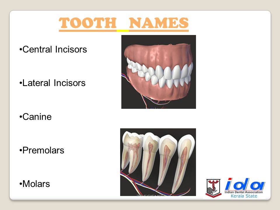 TOOTH NAMES Central Incisors Lateral Incisors Canine Premolars Molars